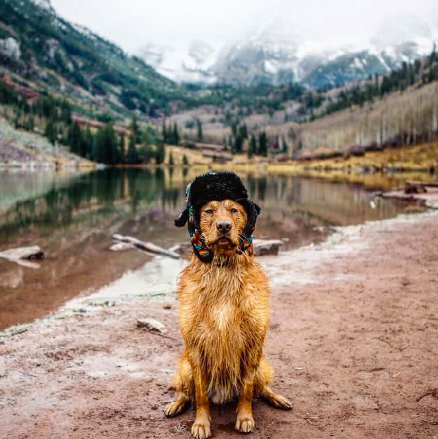 golden-retriver-trip-7