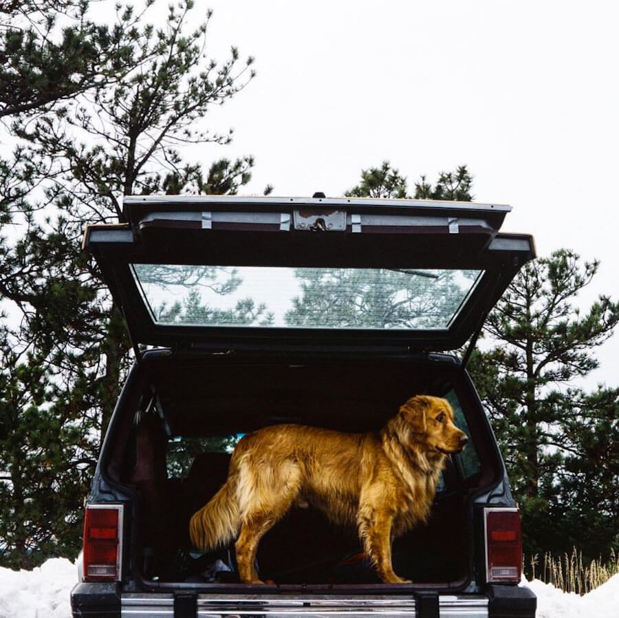 golden-retriver-trip-9